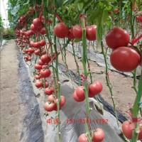 高碑店口感型番茄苗批发 番茄育苗基地